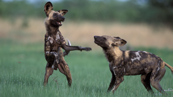 Painted Dogs Play